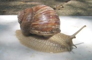 Helix pomatia