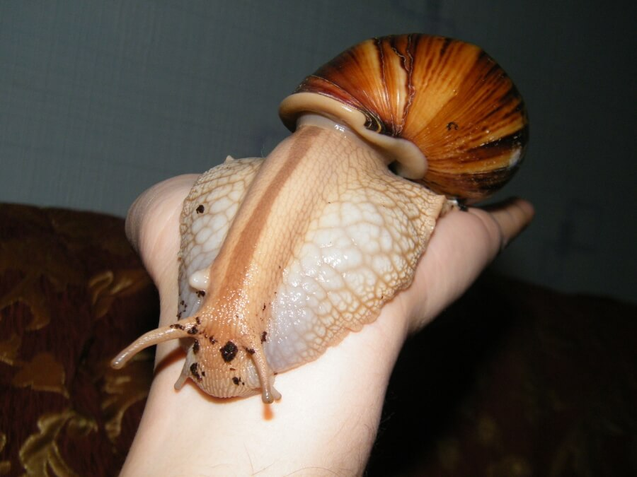 A hand with a giant snail
