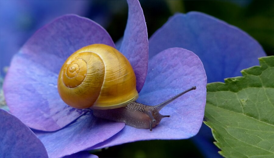 A snail with a gold shell