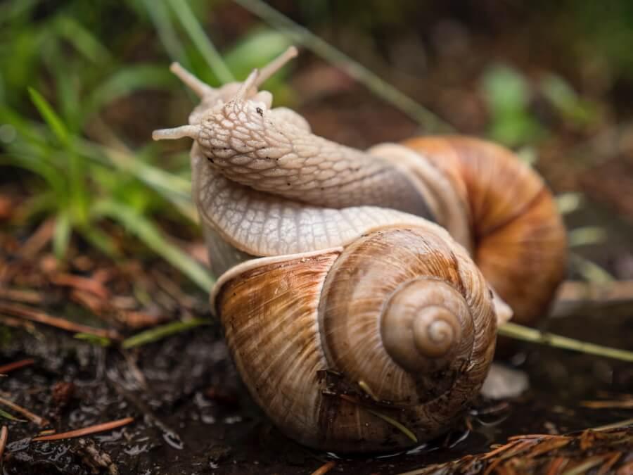 Roman snails mating
