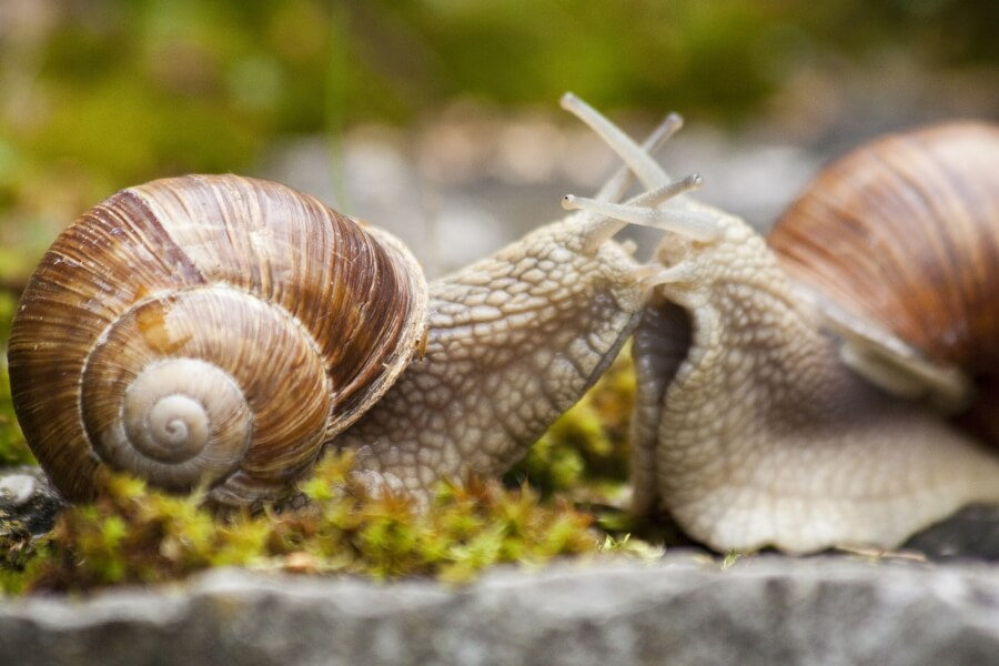 Two roman snails greeting each other