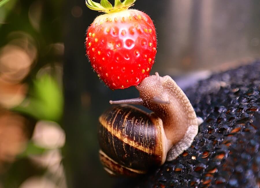 a roman snail going for a strawberry