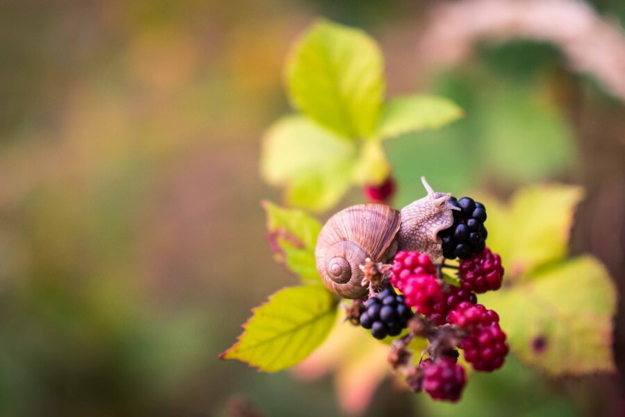 a snail eating berries