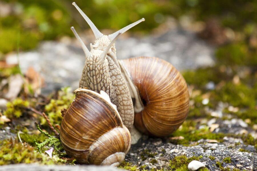 snails courtship